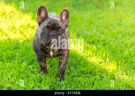 cute domestic dog brindle French Bulldog breed - Stock Photo