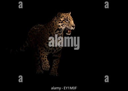 jaguar ( panthera onca ) in the dark night - Stock Photo