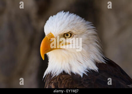 Portrait of a bald eagle (lat. haliaeetus leucocephalus) close up - Stock Photo