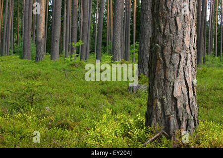 Pine forest floor covered with blueberry bushes - Stock Photo