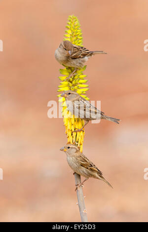 Spanish Sparrow, Female, Aloe vera,  Santiago, Cape Verde (Passer hispaniolensis) - Stock Photo