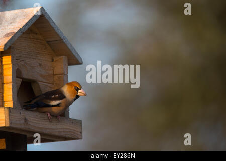 A male Hawfinch on a bird table - Stock Photo