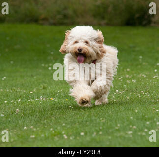 Cockerpoo running - Stock Photo