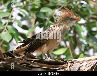 South American Guira cuckoo (Guira guira) posing on a roof, seen in profile - Stock Photo