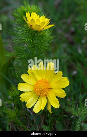 Spring pheasant's eye / false hellebore (Adonis vernalis) in flower - Stock Photo