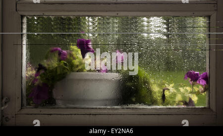 July 19, 2015 - pot of flowers - pink and white periwinkle (vinca) on the window, raindrops spattered (Credit Image: - Stock Photo