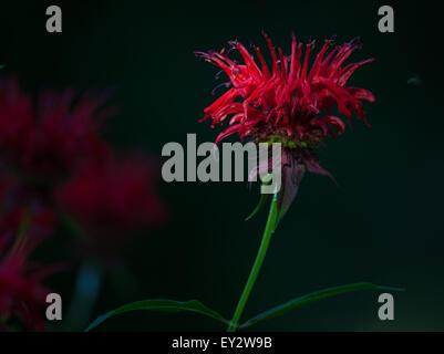 Red Bee Balm flower (Monarda) with a dark background - Stock Photo