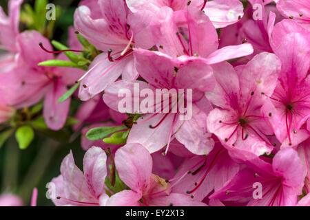 Pink Azalea bushes in the Garden of Buckland Abbey; Yelverton; Devon; England | Rosa pink Azaleea Buesche in Garten - Stock Photo