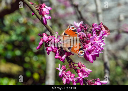 Peacock butterfly (Aglais io) on Judas tree branches (Cercis siliquastrum) in blossom closeup at the Garden of Buckland - Stock Photo