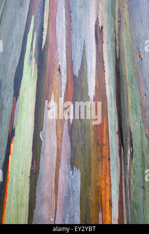 Detailed view of rainbow colored bark of a - Stock Photo
