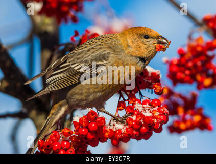 Female pine grosbeak (Pinicola enucleator) - Stock Photo
