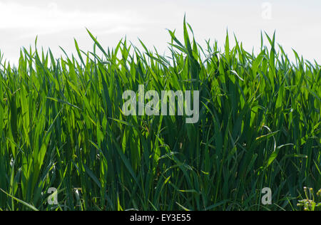 Winter wheat crop between stage 37 - 39 before ear emergence, Berkshire, May - Stock Photo