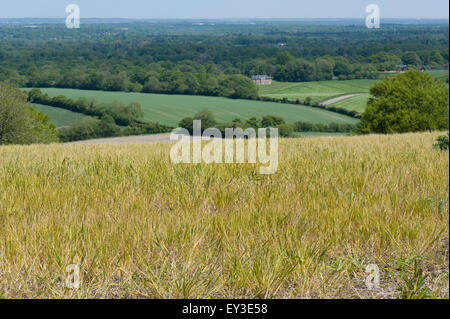 A fallow field with volunteer wheat and both annual and perennial weeds treated with glyphosate prior to cultivation, - Stock Photo