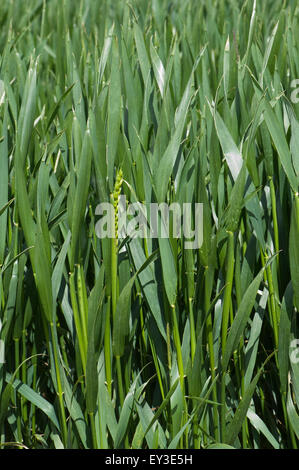 Winter wheat crop between stage 45 in boot but with some ears emerging stage 50, Berkshire, June - Stock Photo