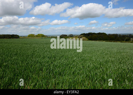 Chalk downland winter wheat crop between stage 37 - 39 before ear emergence, Berkshire, May - Stock Photo