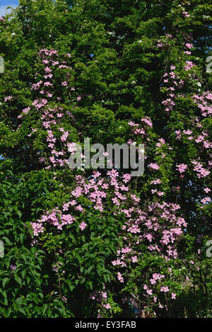 Ornamental climber Clematis montana climbing through a large hawthorn tree now draped in pink flowers, Berkshire, - Stock Photo