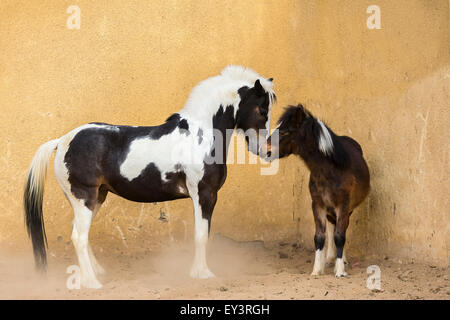 Gypsy Vanner Horse. Mare with weaner (1 year old). Yearling showing submissive behaviour. Egypt - Stock Photo