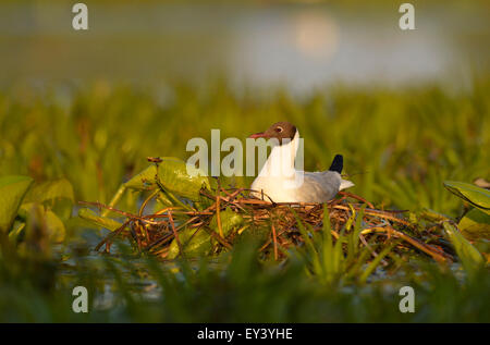 Black-headed Gull (Larus ridibundus) adult in breeding plumage, sitting on nest, Danube delta, Romania, May - Stock Photo