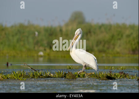 Dalmatian Pelican (Pelecanus crispus) standing in water on aquatic vegetation, Danube delta, Romania, May - Stock Photo
