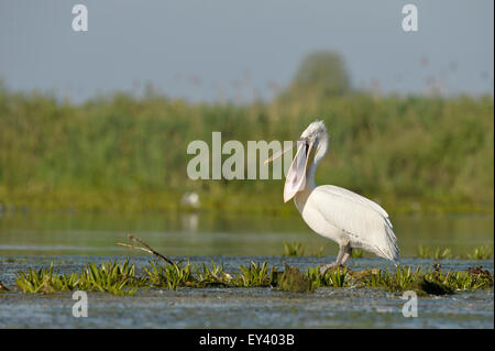 Dalmatian Pelican (Pelecanus crispus) standing in water on aquatic vegetation, opening beak, Danube delta, Romania, - Stock Photo