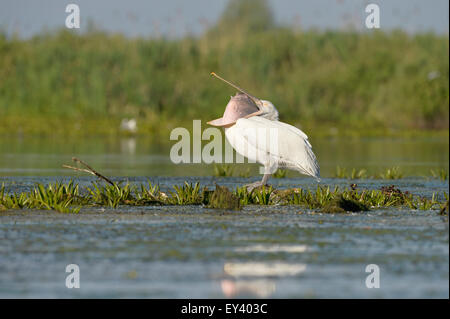 Dalmatian Pelican (Pelecanus crispus) standing in water on aquatic vegetation, with beak open, Danube delta, Romania, - Stock Photo