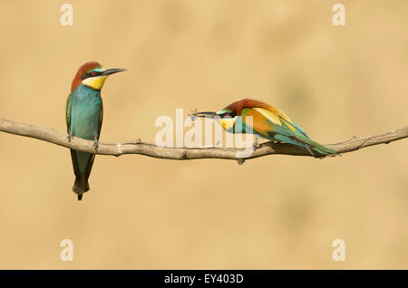 European Bee-eater (Merops apiaster) perched on twig, male offering insect to female, Romania, May - Stock Photo