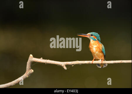 Common Kingfisher (Alcedo atthis) adult female perched on branch, Danube delta, Romania, May - Stock Photo