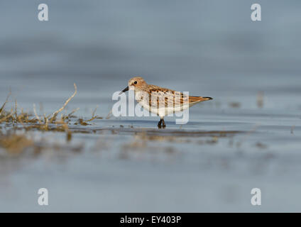 Little Stint  (Calidris minuta) adult in breeding plumage, wading in shallow water, Black Sea coast, Romania, May - Stock Photo