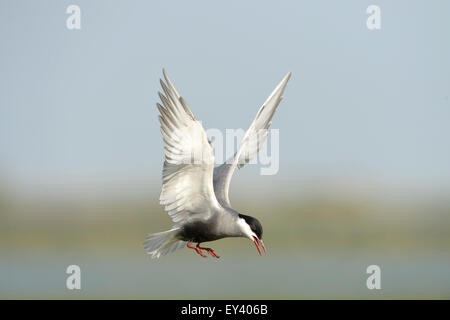 Whiskered Tern (Chlidonias hybrida) adult in flight, breeding plumage, Danube delta, Romania, May - Stock Photo
