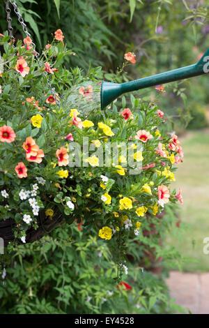 Calibrachoa Million Bells Series. Watering a hanging basket of petunia flowers - Stock Photo