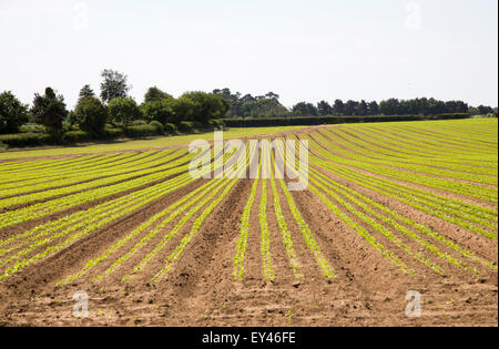 Crops growing in long lines in early summer, Sutton, Suffolk, England, UK - Stock Photo