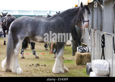 Mercury the Queens drum horse tethered to a shall - Stock Photo