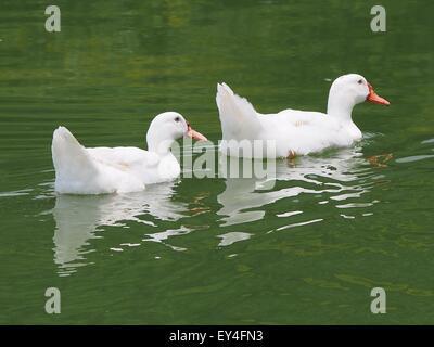 American Pekin ducks on water - Stock Photo