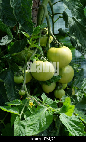Tomato Ferline F1 growing on the vine in a garden in the UK - Stock Photo