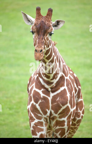 Portrait view of a Reticulated Giraffe - Stock Photo