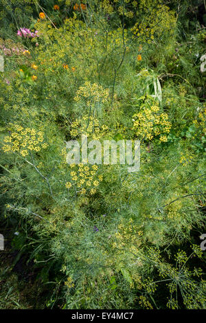 A forest of dill grows in a community garden in the Chelsea neighborhood of New York on Monday, July 20, 2015. (© - Stock Photo