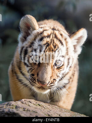 Male Amur (Siberian) tiger cub - Stock Photo