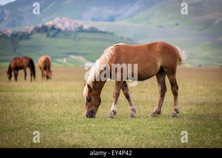 Horse at Piano Grande, Castelluccio di Norcia, Italy - Stock Photo