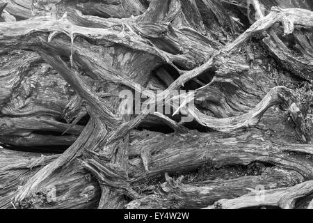 Black and white image of an upturned weathered fir tree root system - Stock Photo