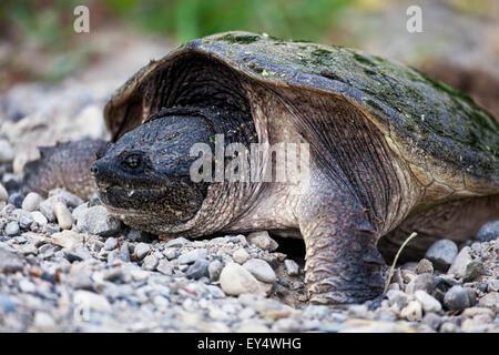 A Snapping Turtle, Chelydra serpentina, laying eggs - Stock Photo