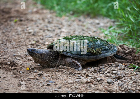 Snapping Turtle, Chelydra serpentina, laying eggs by the roadside - Stock Photo