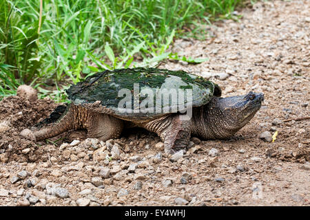 Snapping Turtle, Chelydra serpentina, laying eggs by the road edge - Stock Photo