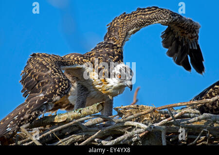 Osprey Chick Working out the Wings - Stock Photo