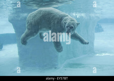Polar Bear underwater - Singapore Zoo - Stock Photo
