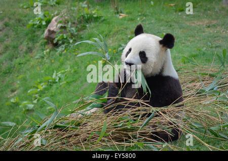 Giant panda eating bamboo - Zoo Parc de Beauval France - Stock Photo