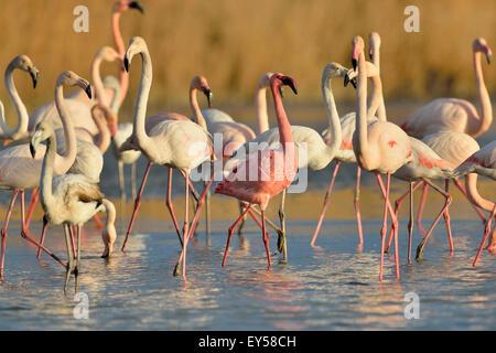 Dwarf Flamingo among Great flamingos - Camargue France - Stock Photo