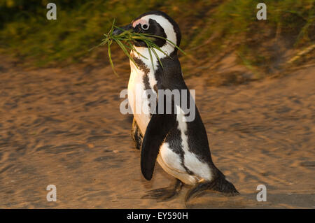 Jackass penguin - South Africa - Stock Photo
