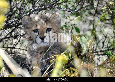 Young Cheetah hiding in the bush - Chobe Botswana Age: 1 month