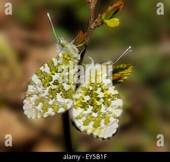 Orange tip mating on twig - Vosges France - Stock Photo