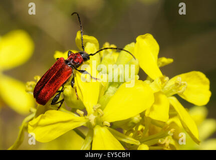 Welsh Oak Long Horn Beetle - Vosges du Nord France - Stock Photo